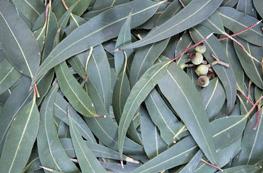 Eucalyptus-sauna-opgietmiddel-concentraat-10-l